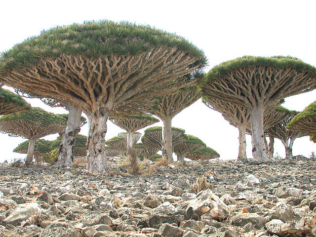 by jan_vandorpe on Flickr.Dracaena cinnabari, the Socotra Dragon Tree, Socotra archipelago in the Indian Ocean.