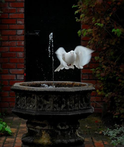 White Dove, Italy