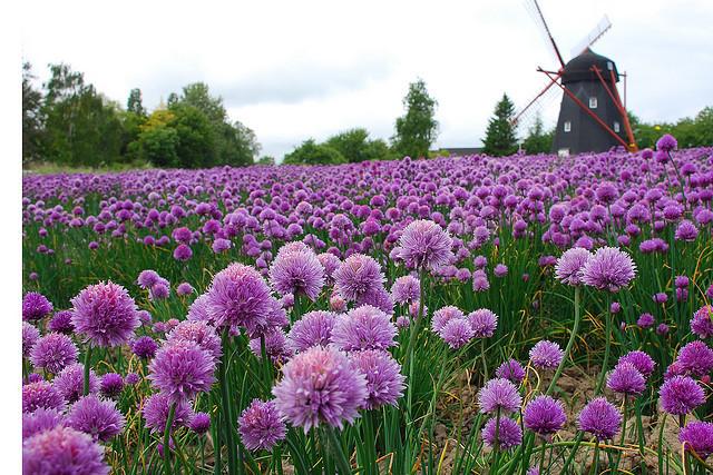 Windmill in a field of chives, Bornholm Island, Denmark