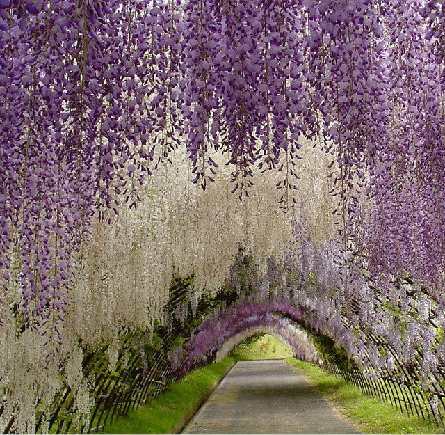 Wisteria Tunnel at the Kawachi Fuji Gardens in Kitakyushu, Japan