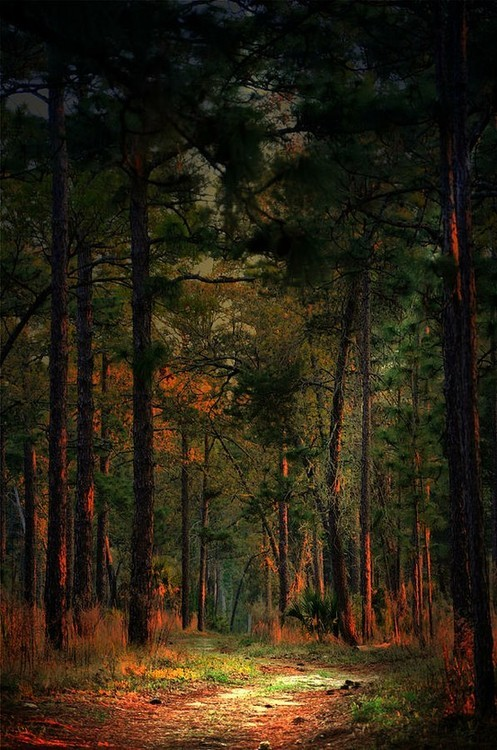 Sunrise in the Pines, Florida